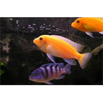 Assorted Maylandia Cichlid