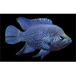 Black Diamond Cichlid