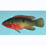 Green Neon Jewel Cichlid