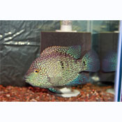 Texas Pearl Scale Cichlid (SP)