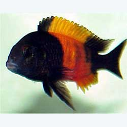 Red Banded Tropheus Bemba