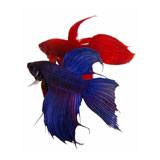 Assorted Veil Tail Betta