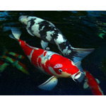 Japanese Koi (assorted grade)�