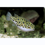Green Spotted Puffer Giant