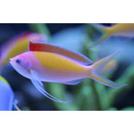 Madder Seaperch Anthias