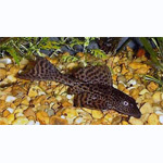 Common Pleco