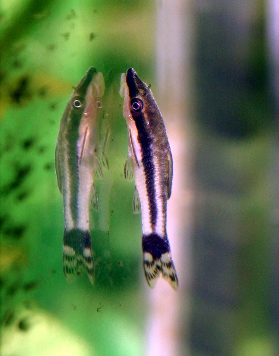 Midget suckermouth catfish galleries 717