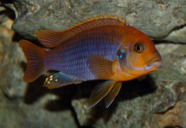Iodotropheus sprengerae Malawi