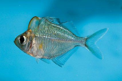 Other Names  Humphead Perchlet  Humphead Glassfish  Parambassis    Humphead Fish