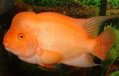 Chaky aquaristik for Red devil fish