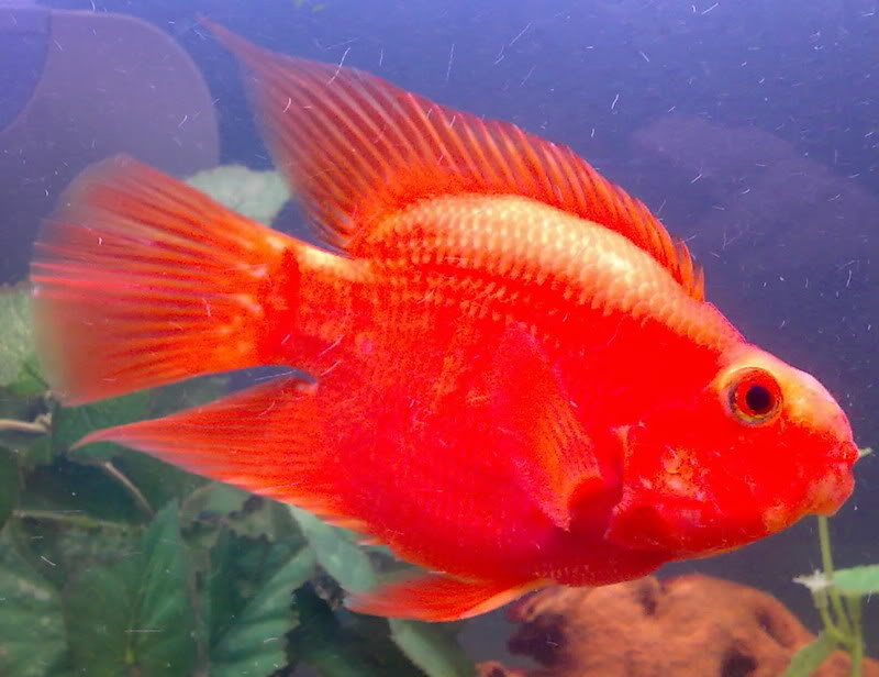 Chaky aquaristik for Blood parrot fish