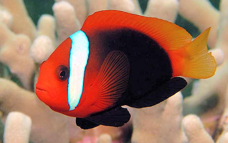 Cinnamon Clownfish Cinnamon clownfish