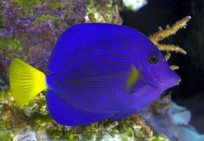 Chaky aquaristik for Blue tang fish facts