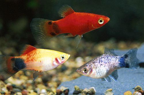 Chaky aquaristik for Opah fish price