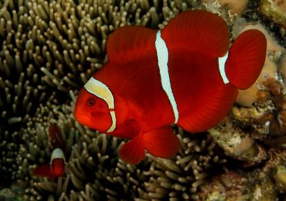Chaky aquaristik for Clown fish scientific name