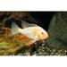 Threadfin acara alpino (SP)