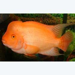 Midas Cichlid (Red Devil)