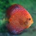 Snakeskin red discus