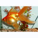 Assorted Fantail (goldfish)�